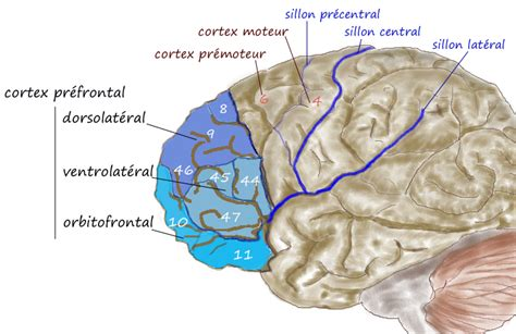 The Complexity of the Frontal Lobes