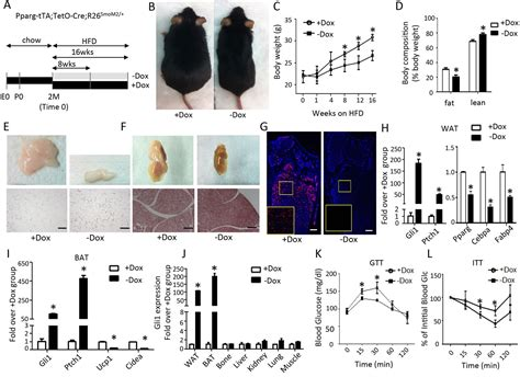 Hedgehog signaling via Gli2 prevents obesity induced by