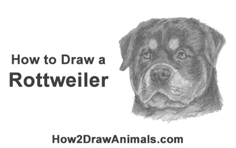 How to Draw a Rottweiler (Head) VIDEO & Step-by-Step Pictures
